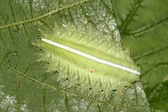 Detailní záběr lepidoptera — Stock fotografie