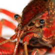 Crayfish — Stock Photo #18261489