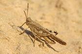 Locust verrugas — Foto Stock
