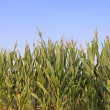 Stock Photo: Corn plant features