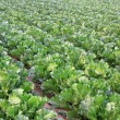 Stock Photo: Green chinese cabbage in fields