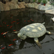 Foto Stock: Tortoise modelling of cement building landscape indoors in a