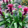 Showy bromeliads plant — Stock Photo