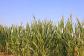 Corn plant features — Stock Photo
