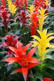 Pineapple flowers — Stock Photo