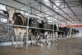 Holstein cows in a mechanization milking hall in China — Stock Photo