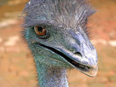 Emu in a zoo — Stock Photo