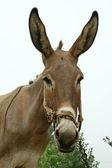 Donkey in the fields — Stock Photo