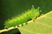 Green insects larvae — Stock Photo