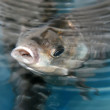 Crucian carp swimming in a pool — Stock Photo
