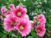 Hollyhock flowers — Stock Photo