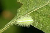 Lepidoptera na zielony liść w środowisku naturalnym — Zdjęcie stockowe