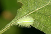 Lepidoptera on green leaf in the wild — Stock Photo