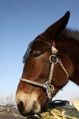 Closeup of horse's head — Stock Photo