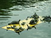 Tartaruga brasileira — Foto Stock