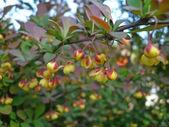 Berberys thunberga liście w ogrodzie, północnej części chin — Zdjęcie stockowe
