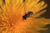 Syrphidae — Stock Photo