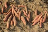 Fresh sweet potato growth on the shelf, in a garden — Stock Photo