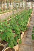 Pumpkin indoor cultivation — Stock Photo