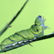 Insects larvae — Stock Photo