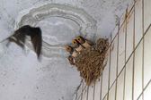 Little swallow waiting for feeding — Foto Stock