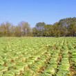 Stock Photo: Being harvested Chinese cabbage in field