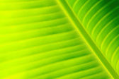 Green fresh banana leaf texture — Stock Photo