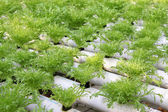 Soilless cultivation of vegetables — Stock Photo