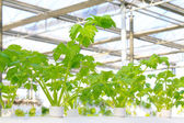 Soilless cultivation of celery in a botanical garden — Stock Photo