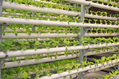 Brassica napus cultivation celery in a greenhouse, north china — Stock Photo