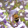 Hornets and wisteria flowers bud in a garden — Stockfoto