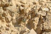 野生では、北中国で地面にクモ — ストック写真