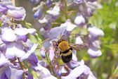 Hornets and wisteria flowers bud in a garden — Stock Photo
