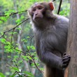Monkey in Zhangjiajie National Geological Park — Foto Stock