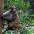 Monkey in Zhangjiajie National Geological Park - Stock Photo