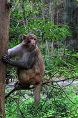 Małpa w zhangjiajie park narodowy geologicznych — Zdjęcie stockowe