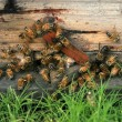 Bees in the hive — Stock Photo