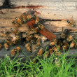 Stok fotoğraf: Bees in the hive