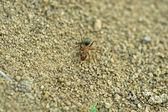 Mrówki merceryzowane las — Zdjęcie stockowe