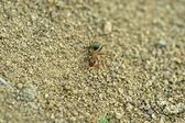 Mercerized bruin bos mieren — Stockfoto