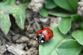A lady beetles on the green leaves in the wild — Stock Photo