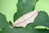 Moth insects stay on green leaves — Stock Photo