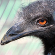 Closeup of emu — Stock Photo