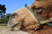 Camel's head — Stock Photo