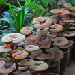 Ganoderma lucidum - Stock Photo