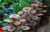 Ganoderma lucidum — Stock Photo