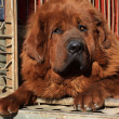 Stock Photo: Tibetmastiff
