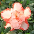 Rhododendron flowers — Stock Photo