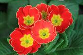 Primrose flowers — Stock Photo
