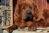 Tibetan mastiff — Stock Photo